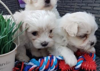 Dos cachorros malteses de la taza de té necesitan una nueva