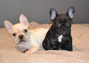 Cachorros de Bulldog Francés Criados en Casa