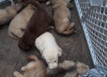 Venta de cachorros pastor belga