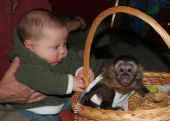 monos chimpancés, capuchinos, ardillas, arañas y titíes disponibles